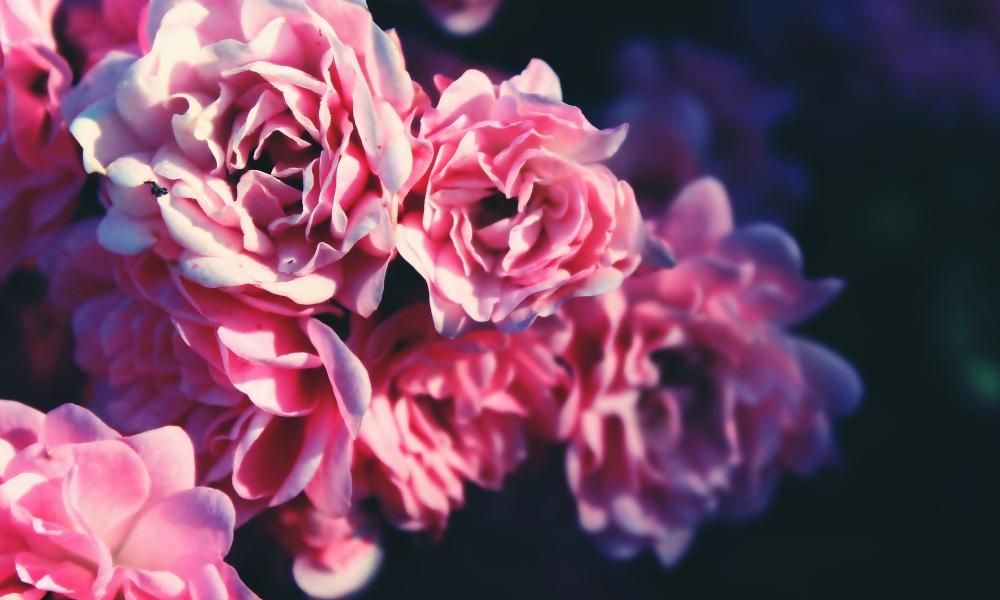 Agua de rosas como tónico